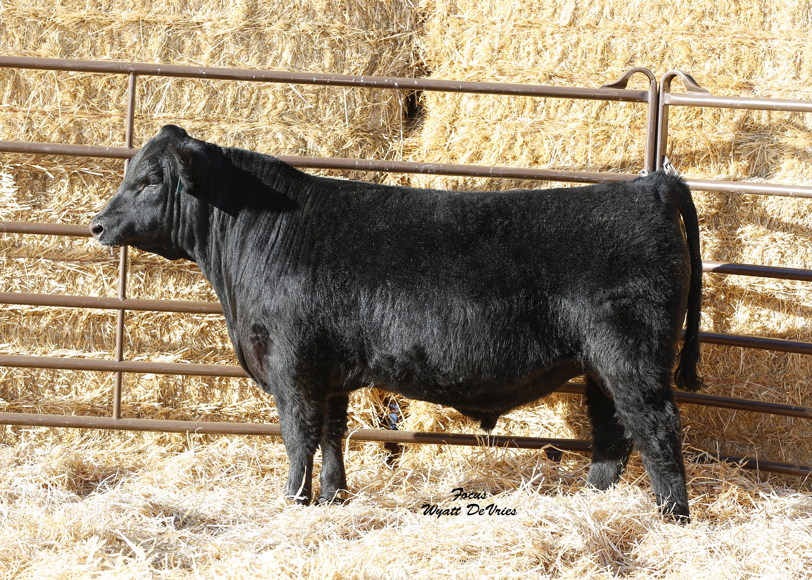 T-Heart Ranch High Altitude Bull Sale on March 23, 2019