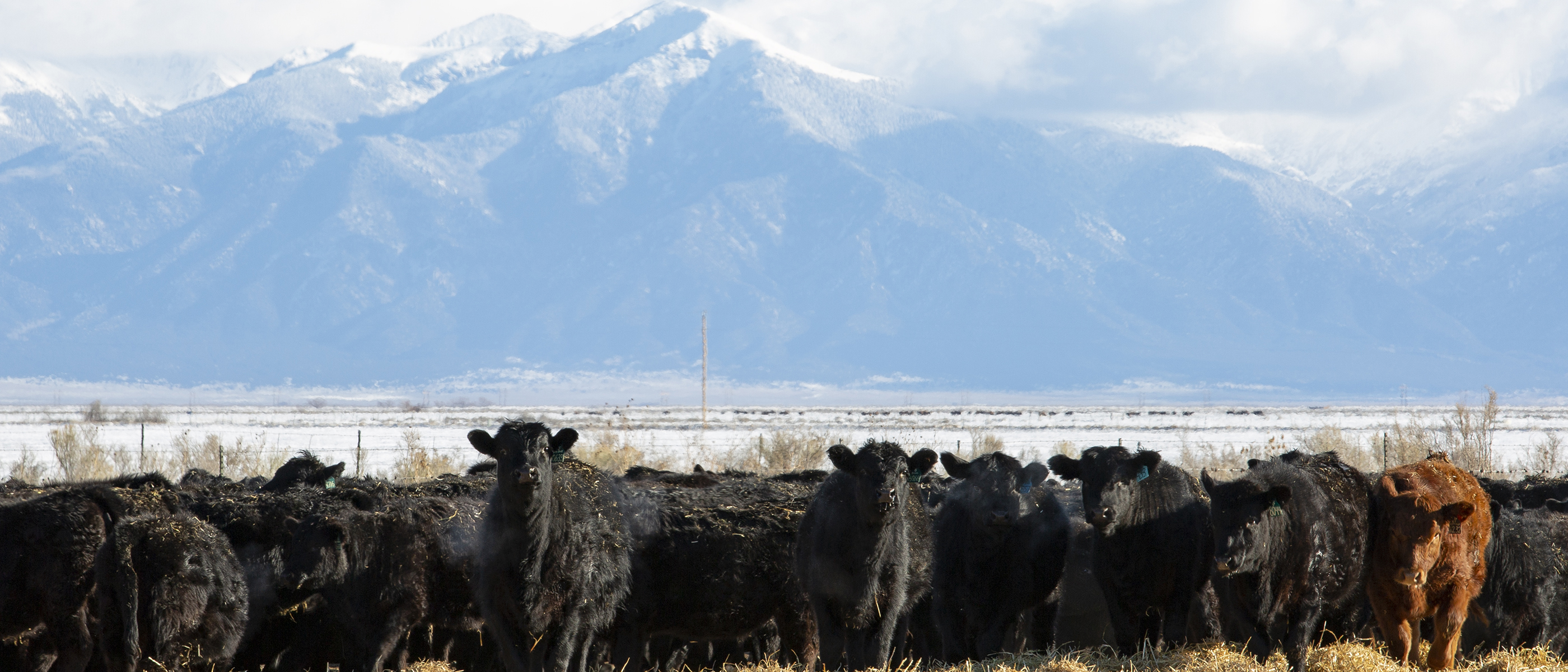 T-Heart Ranch High Altitude Cattle | Supplier of Registered Simmental Cattle raised for high Altitude conditions.