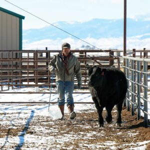 T-Heart Ranch High Altitude Cattle | Working Cattle in high altitude Colorado