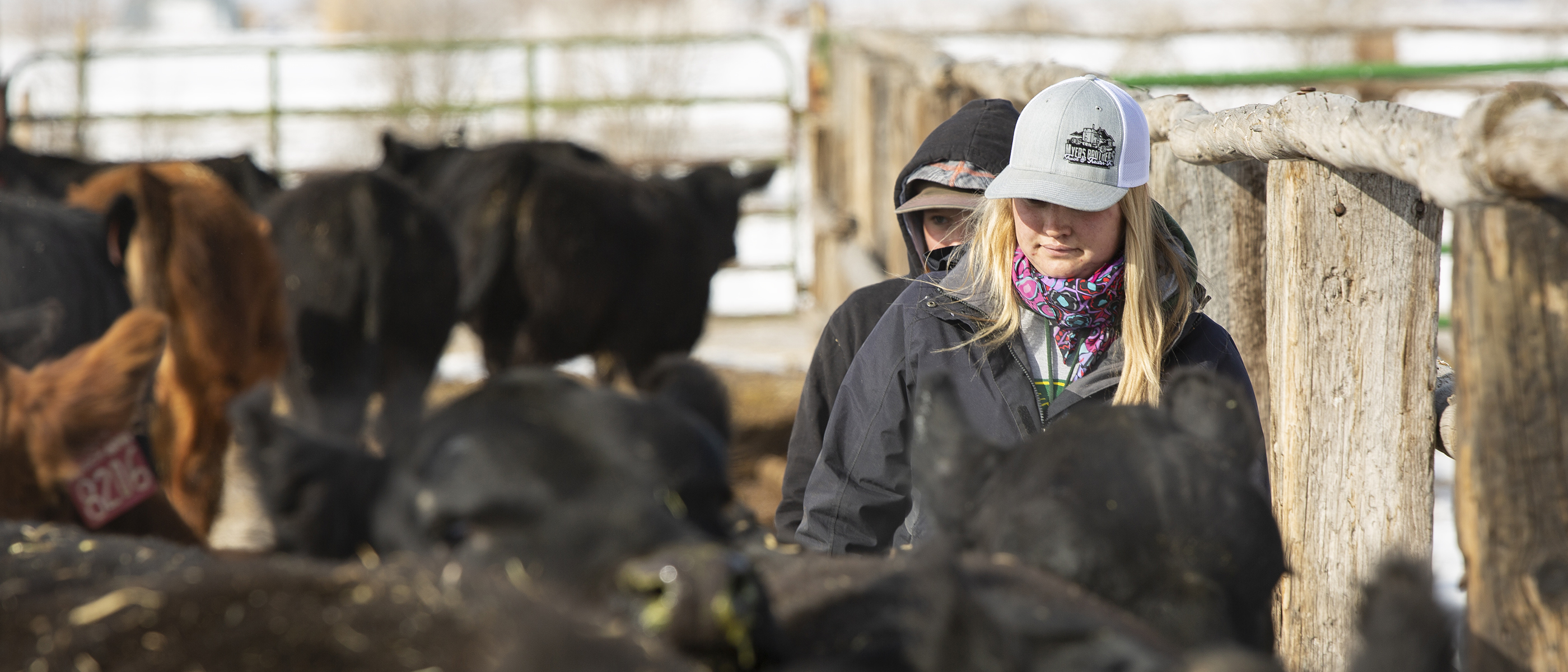 T-Heart Ranch High Altitude Cattle | Working cattle on the high altitude ranch located in Colorado.